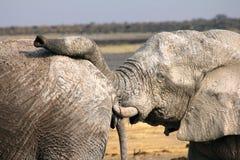 Empuje del elefante Fotografía de archivo