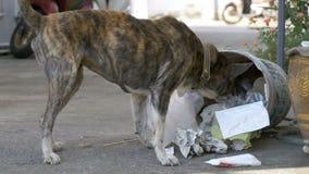 Empuje sin hogar, fino y hambriento del perro en un cubo de la basura en la calle Asia, Tailandia Cámara lenta almacen de video