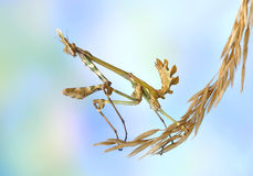 Empusa fasciata. On the plant Royalty Free Stock Images