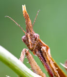 Empusa Pennata Royalty Free Stock Images