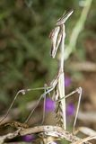 Empusa pennata Royalty Free Stock Photos