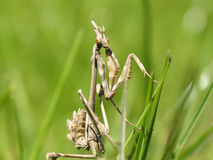 Empusa pennata Royalty Free Stock Photo