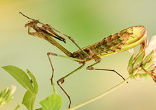 Empusa Pennata Insect Royalty Free Stock Photography