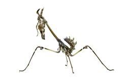 Empusa pennata insect Royalty Free Stock Photos