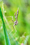empusa pennata praying mantis, Insect on blade of grass Royalty Free Stock Photos