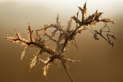 Empusa pennata on the thorn stock photography