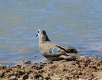 Emrald-spotted Dove - African Gamebird Royalty Free Stock Photography
