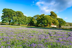 Emsworthy Bluebells Royalty Free Stock Images