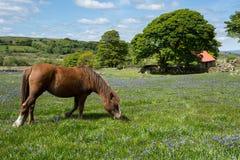 Emswothy ponny. royaltyfria foton