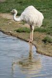 Emu à côté d'un étang Photos stock