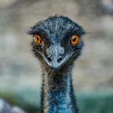 Emu Fotografia de Stock Royalty Free