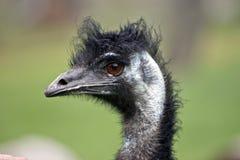 Emu Imagem de Stock Royalty Free