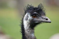 Emu Imagens de Stock Royalty Free