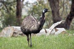 Emu Fotografia de Stock