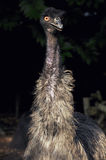 Emu. Eyes are golden brown to black. the naked skin on the neck is bluish-black Stock Photo