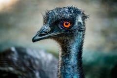 Emu Imagem de Stock