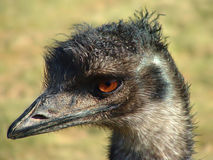 Emu. Portrait stock photos