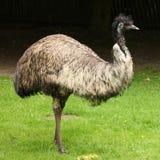 emu стоковое изображение