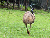 Emu Royalty Free Stock Images
