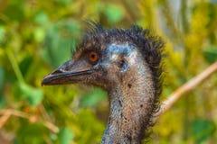 Emu fotografia stock libera da diritti