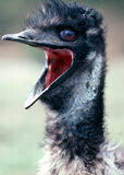 EMU. Flightless bird from Australia where lived for 80 million years Royalty Free Stock Photography