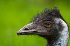 Emu Fotos de archivo