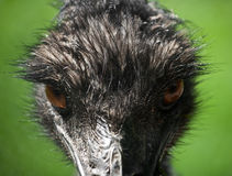 Emu. This emu is looking very angry Stock Images