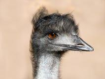 Free Emu Stock Image - 16607231
