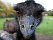 Emu. This emu is looking very scary Stock Photos