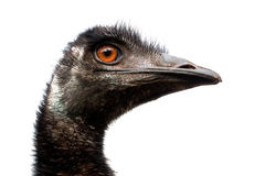 Emu. This emu on a white background Royalty Free Stock Photography