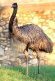 Emu Fotos de archivo libres de regalías