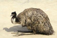 Free Emu Royalty Free Stock Photo - 18810615