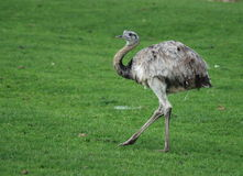 Emu. An emu out for a stroll stock images