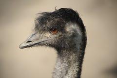 emu fotografering för bildbyråer