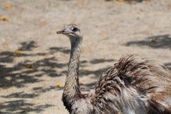 Emu Lizenzfreie Stockbilder