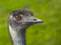 Emu. Head in green background Royalty Free Stock Image