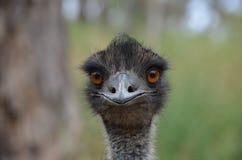 emu Стоковые Изображения RF