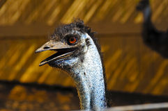 Emu Stock Photography