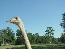 Emu Zdjęcie Stock