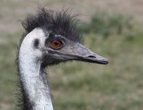 Emu Fotos de Stock