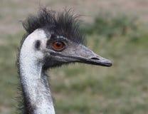 Emu. Nearby emu portrait profile red eyes Stock Photos
