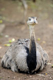 Emu Royalty Free Stock Photography