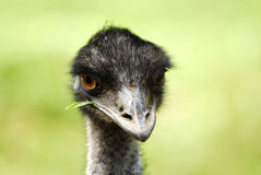 emu Стоковое фото RF
