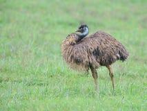 Emu Obrazy Royalty Free