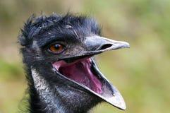 Free Emu Stock Photos - 34399623