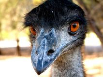 Emu stockfotos