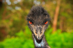 Emu Obraz Royalty Free