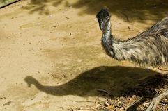 Emu. And its shadow stock image