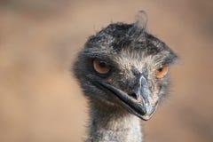 emu Royaltyfria Bilder