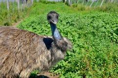 Emu Zdjęcia Stock